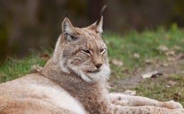 Gato de reclinación del lince Foto de archivo libre de regalías