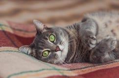 Gato de reclinación divertido en el día, gato soñoliento, gato joven en la cama, mitad del gato soñoliento con los ojos abiertos imágenes de archivo libres de regalías