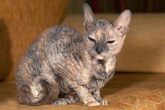 Gato de Rex que se sienta en el sofá Fotografía de archivo libre de regalías