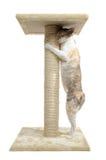Gato de Rex y poste de Cornualles del rasguño Foto de archivo libre de regalías
