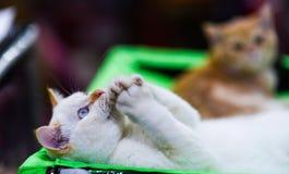 Gato de rogación del angora que miente en fondo borroso defocused Imagen de archivo libre de regalías