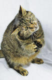 Gato de rogación, gato que se sienta, gato foto de archivo