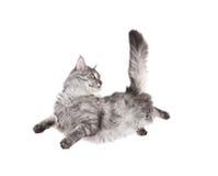 Gato de salto Fotografia de Stock Royalty Free