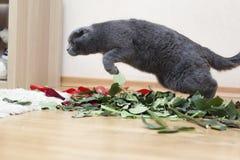 Gato de salto de Gray British na casa Imagens de Stock Royalty Free