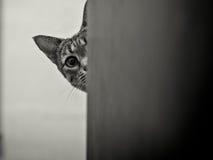 Gato de Savanah que mira a escondidas alrededor de esquina imágenes de archivo libres de regalías