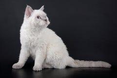 Gato de Selkirk Rex Imagenes de archivo