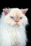 Gato de Selkirk Rex Fotografía de archivo libre de regalías