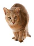 Gato de selva Imagen de archivo libre de regalías