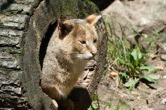 Gato de selva Fotografía de archivo libre de regalías