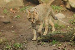 Gato de selva Foto de archivo libre de regalías