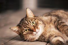 Gato de Shorthair do europeu Foto de Stock Royalty Free