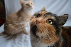 Gato de Shorthair do europeu Fotografia de Stock Royalty Free