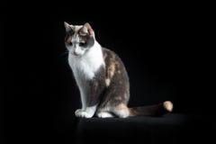 Gato de Shorthair do europeu que senta-se no fundo preto Fotos de Stock Royalty Free