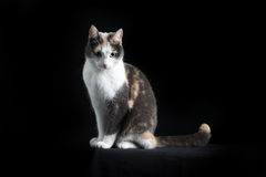 Gato de Shorthair do europeu que senta-se no fundo preto Imagens de Stock Royalty Free