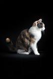 Gato de Shorthair do europeu que senta-se no fundo preto Foto de Stock Royalty Free