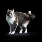 Gato de Shorthair do europeu que senta-se no fundo preto Fotografia de Stock Royalty Free