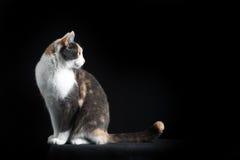 Gato de Shorthair do europeu que senta-se no fundo preto Imagens de Stock