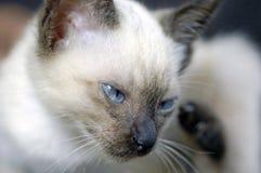Gato de Sião Foto de Stock