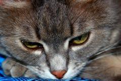 Gato de Sibirian com pele cinzenta fotografia de stock