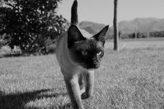 Gato de Siburdoll Foto de Stock