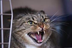 Gato de silvo Foto de Stock Royalty Free