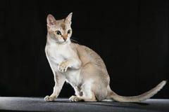 Gato de Singapura Foto de archivo
