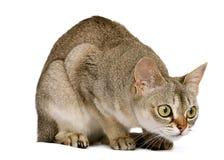 Gato de Singapura que se agacha Imagen de archivo libre de regalías