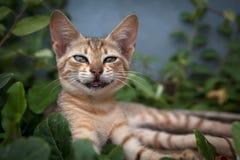 Gato de sorriso Imagens de Stock Royalty Free