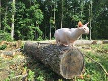 Gato de Sphyn en un árbol Fotografía de archivo