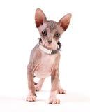 Gato de Sphynx Fotografia de Stock Royalty Free