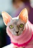 Gato de Sphynx Foto de archivo