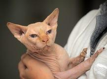 Gato de Sphynx Imagen de archivo
