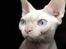 Gato de Sphynx Foto de Stock Royalty Free