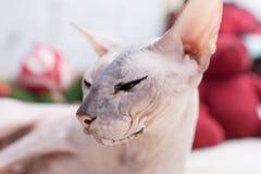 Gato de Sphynx Foto de archivo libre de regalías