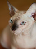 Gato de Sphynx Imágenes de archivo libres de regalías