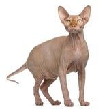 Gato de Sphynx, 8 meses velho, posição Imagens de Stock