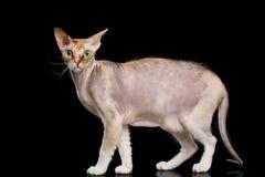 Gato de Sphynx com em fundo preto Fotografia de Stock