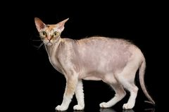 Gato de Sphynx con en el fondo negro Fotografía de archivo