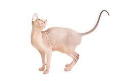 Gato de Sphynx em um fundo branco imagens de stock royalty free