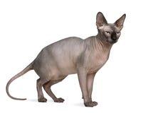 Gato de Sphynx, o 1 anos de idade Imagens de Stock
