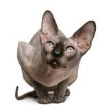 Gato de Sphynx, o 1 anos de idade fotografia de stock royalty free