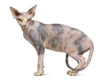 Gato de Sphynx, o 1 anos de idade Foto de Stock