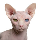 Gato de Sphynx, o 1 anos de idade Imagem de Stock Royalty Free