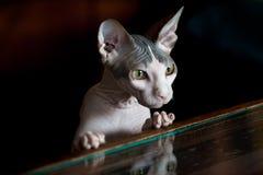 Gato de Sphynx reflejado en la tabla de cristal Fondo negro Imagen de archivo