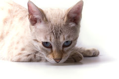 Gato de Spoted Bengala Fotos de archivo