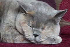 Gato de sueño Imágenes de archivo libres de regalías