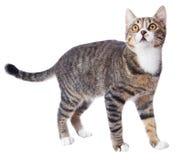 Gato de Tabby imagen de archivo libre de regalías