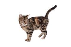 Gato de Tabby fotografía de archivo libre de regalías