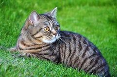 Gato de Tabby Imagen de archivo