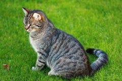 Gato de Tabby Foto de Stock Royalty Free